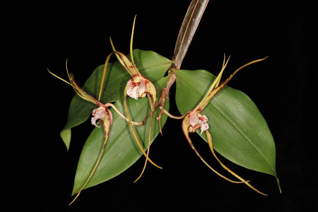 """Dendrobium tetragonatum var """"Gianteum"""""""