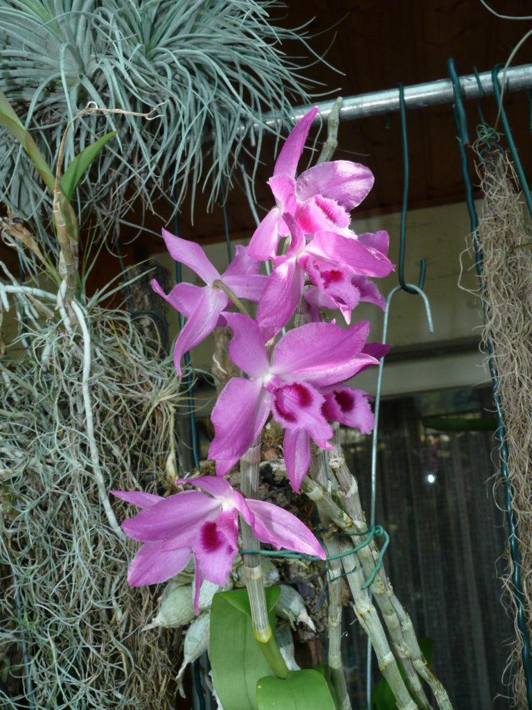 Dendrobium anosmum x parishii