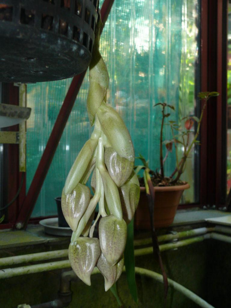 Stanhopea oculata, knospig