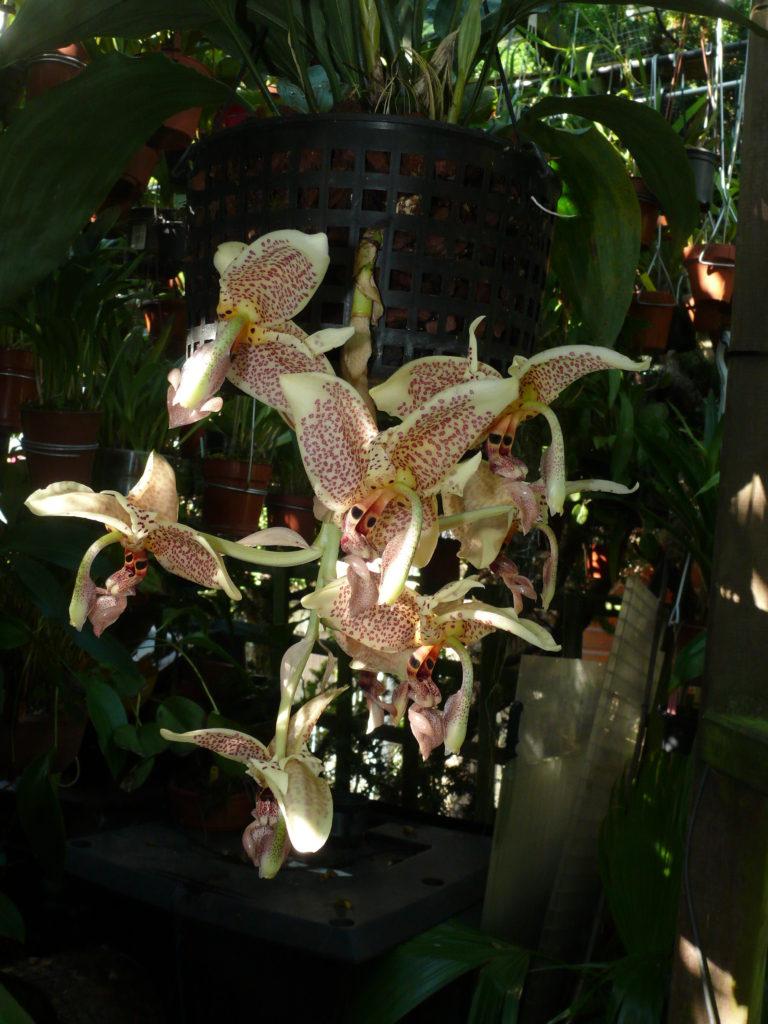P1160417_Stanhopea oculata